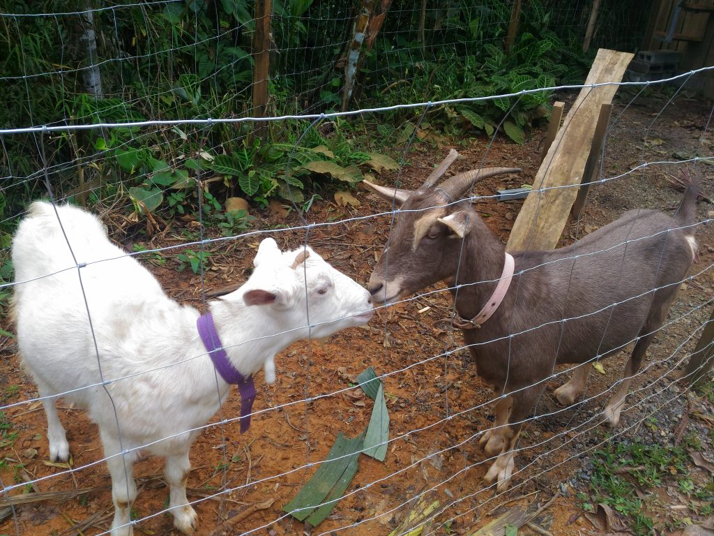 Costa-Rica-goats-permaculture