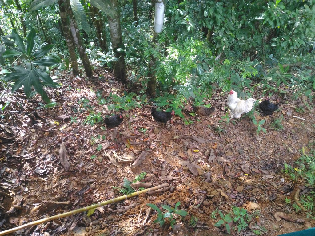 Costa-Rica-chickens-permaculture